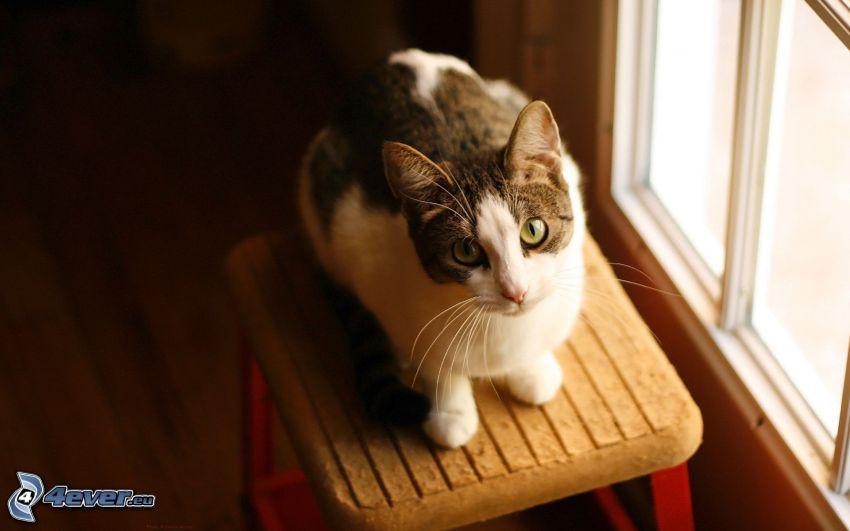 kot, spojrzenie, krzesło