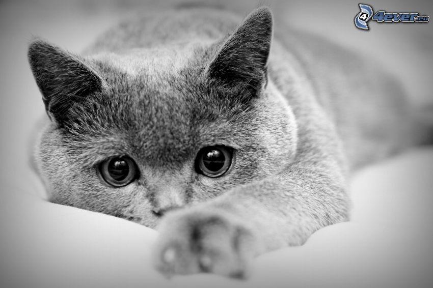 kot brytyjski, czarno-białe