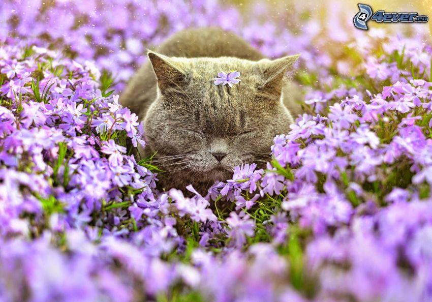 kot brytyjski, fioletowe kwiaty