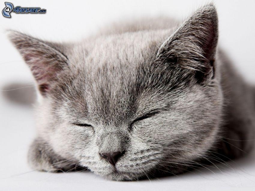kot brytyjski, spanie