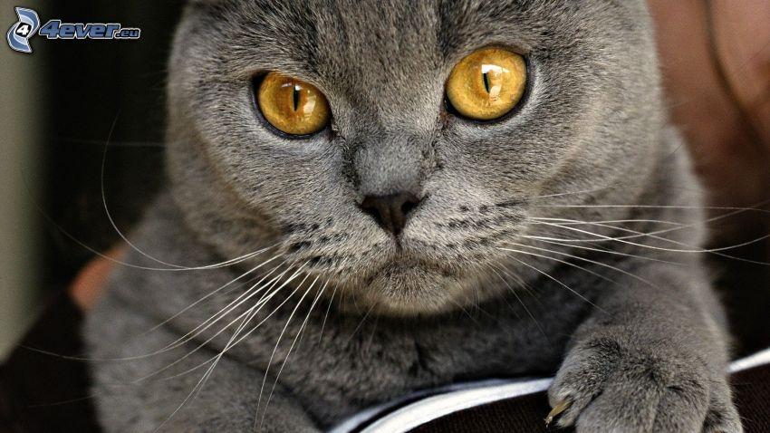 kot brytyjski, spojrzenie