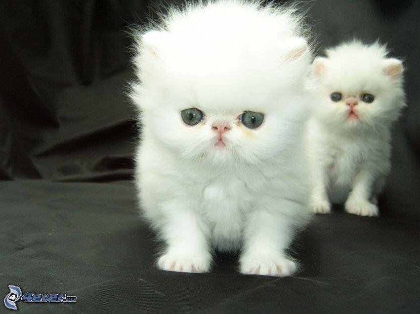 kot perski, białe kocięta