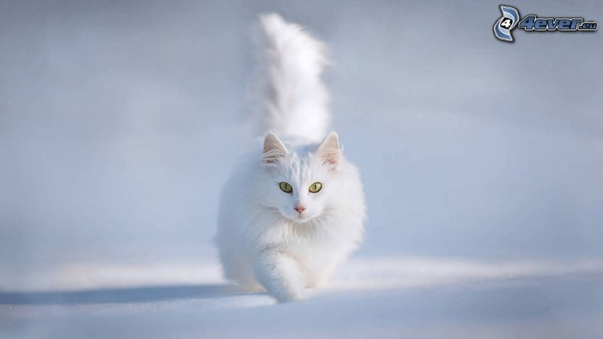 kot perski, biały kot, śnieg