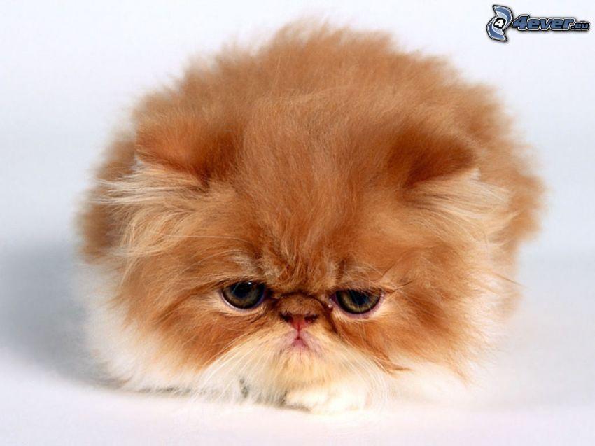 kot perski, brązowy kot