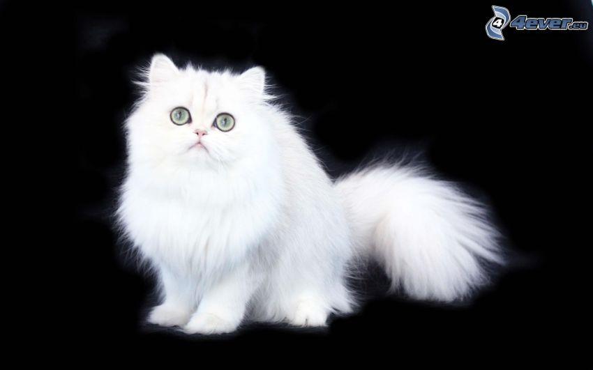 kot perski, Mały biały kotek