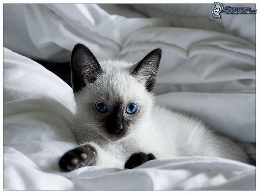 kot syjamski, kotek, kołdra, niebieskie oczy