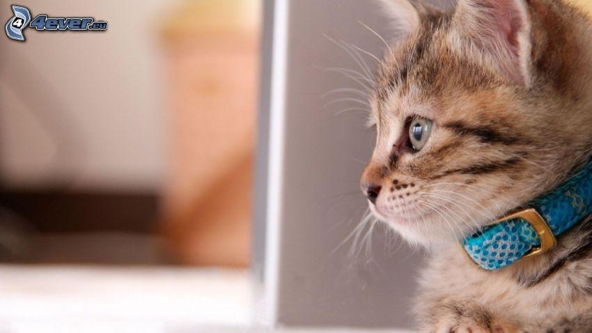 kotek, obroża