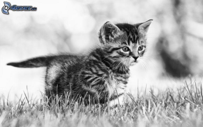 kotek, spojrzenie, czarno-białe zdjęcie