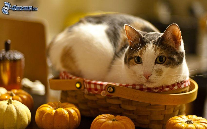 kotek w koszyku, dynie