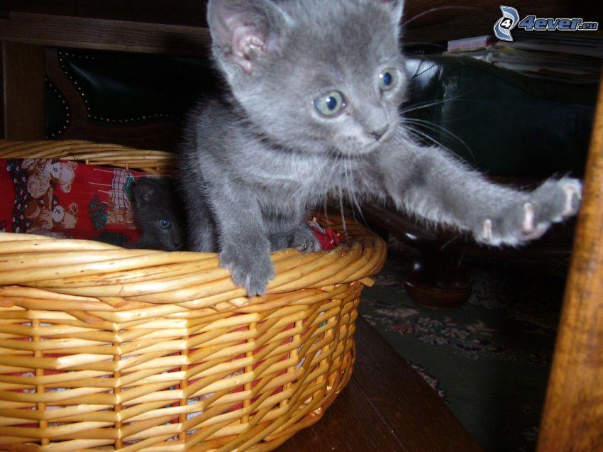 kotek w koszyku, łapa, kot brytyjski