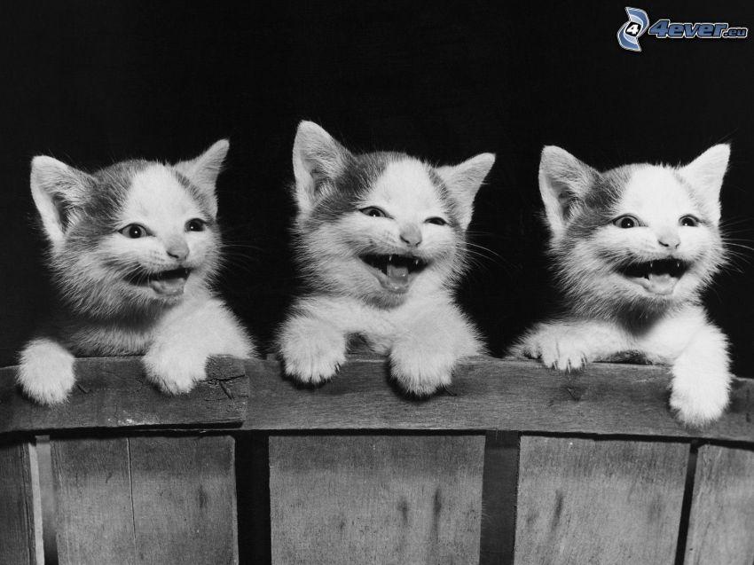 kotki, śmiech, drewniany płot, czarno-białe