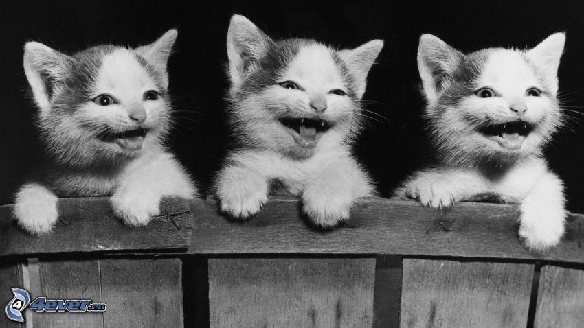 kotki, śmiech