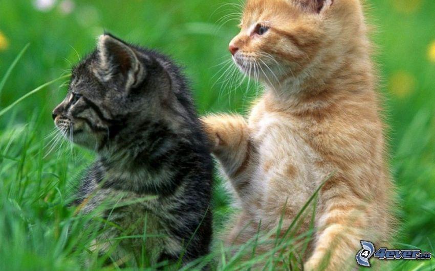 kotki, spojrzenie, trawa