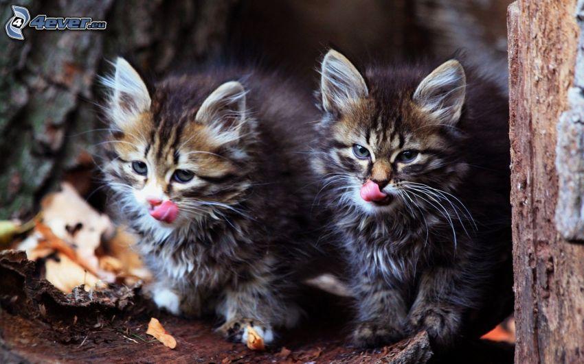 kotki, wystawiony język