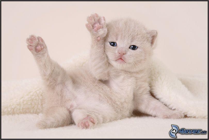 Mały biały kotek, koc, niebieskie oczy