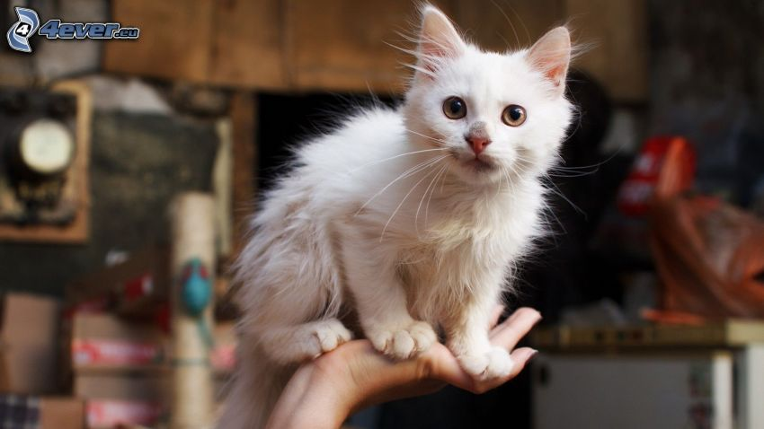 Mały biały kotek, ręka