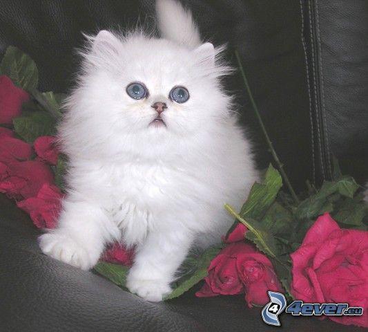 Mały biały kotek, róże