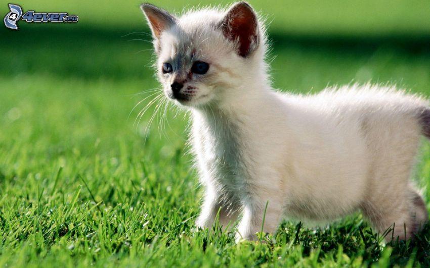 Mały biały kotek, trawa