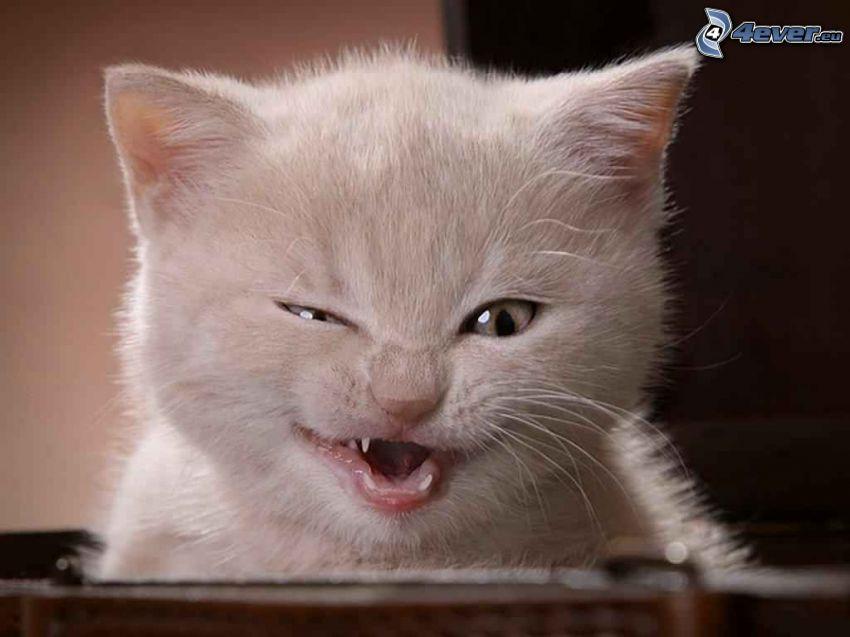 Mały biały kotek, zęby