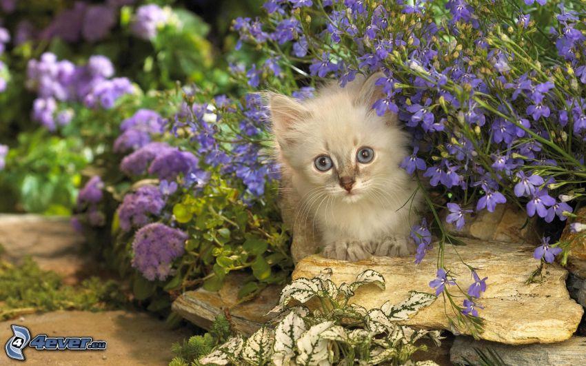 mały kotek, fioletowe kwiaty
