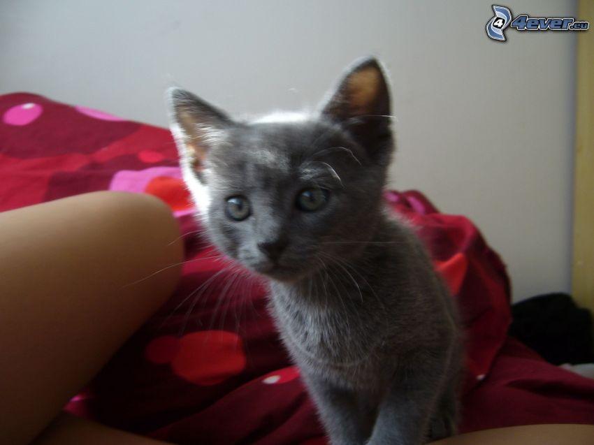 mały kotek, kot brytyjski
