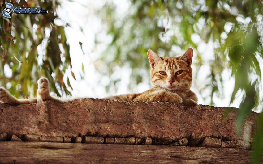 rudy kot, drzewo