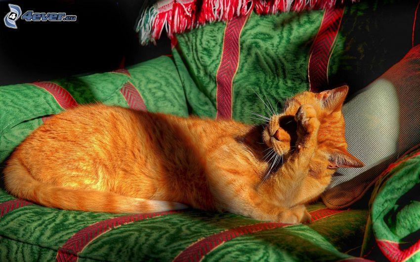 rudy kot, łapa