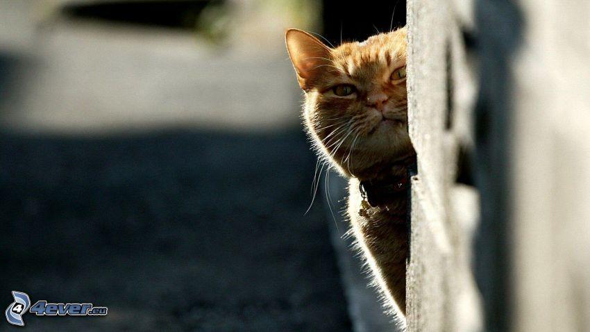 rudy kot, ściana