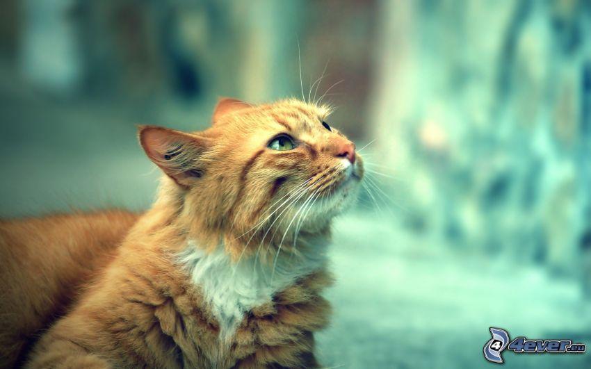 rudy kot, spojrzenie