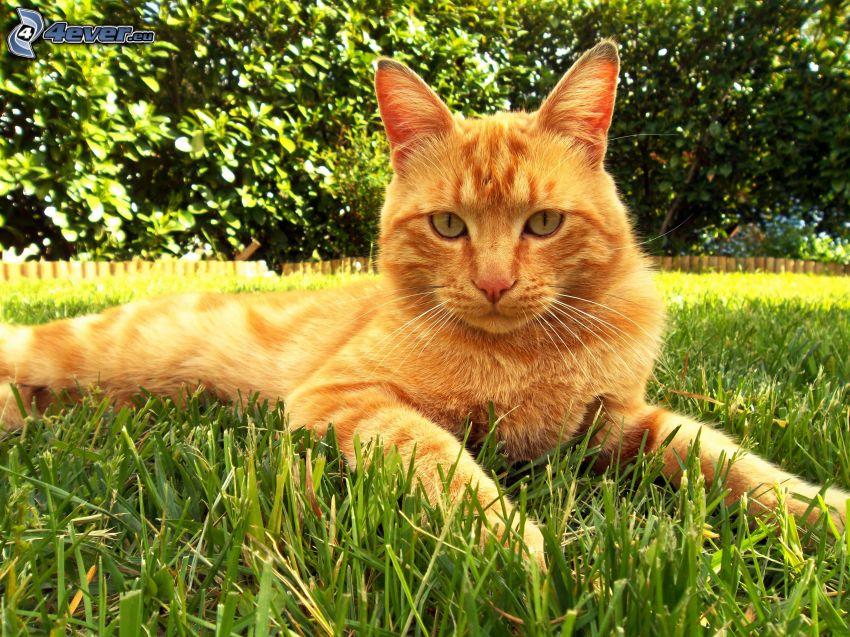 rudy kot, trawa