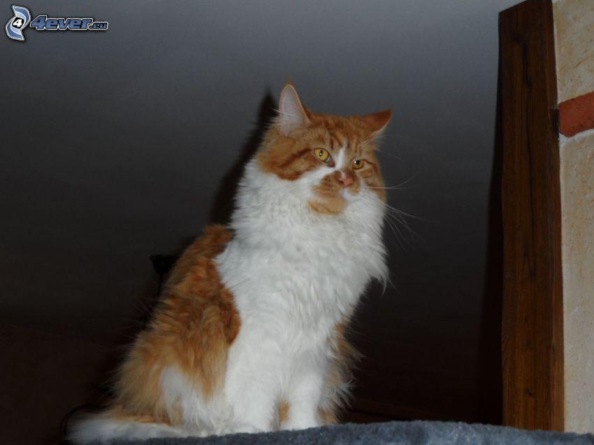 rudy kot, włochaty kot