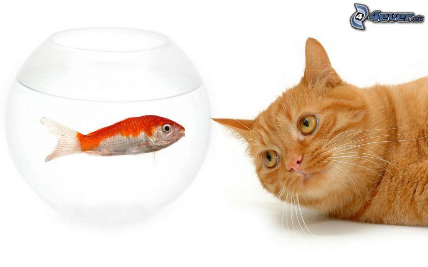 rudy kot, złota rybka, akwarium