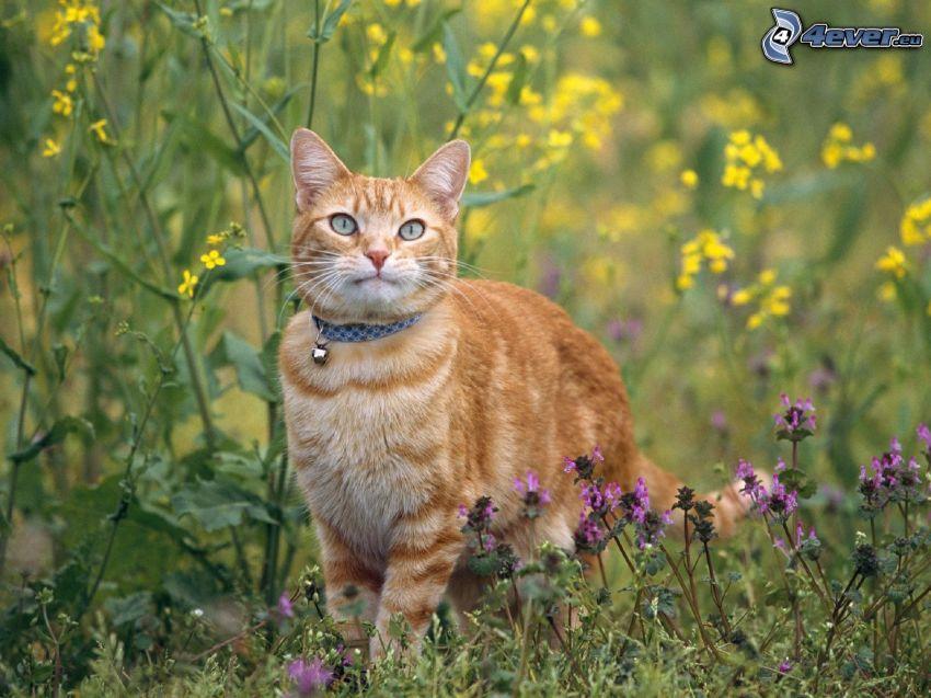 rudy kot, żółte kwiaty, fioletowe kwiaty