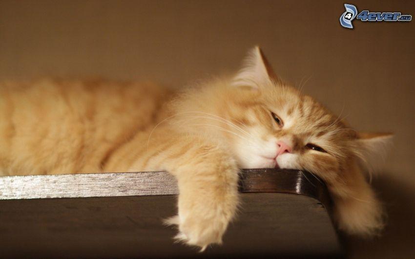 rudy kotek, stół