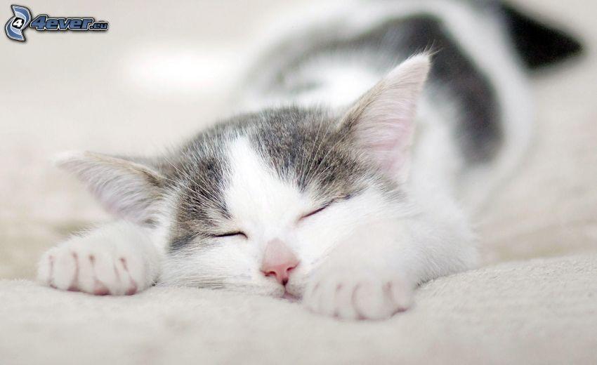 śpiący kot, biały kot