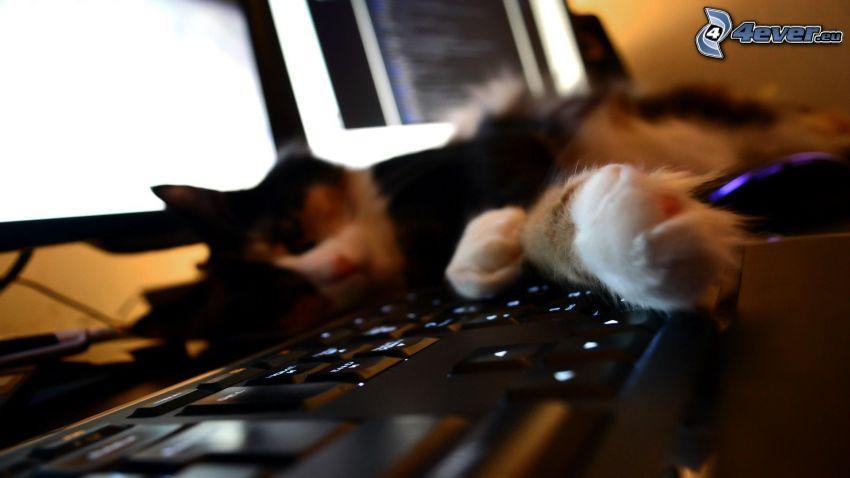 śpiący kot, komputer, klawiatura