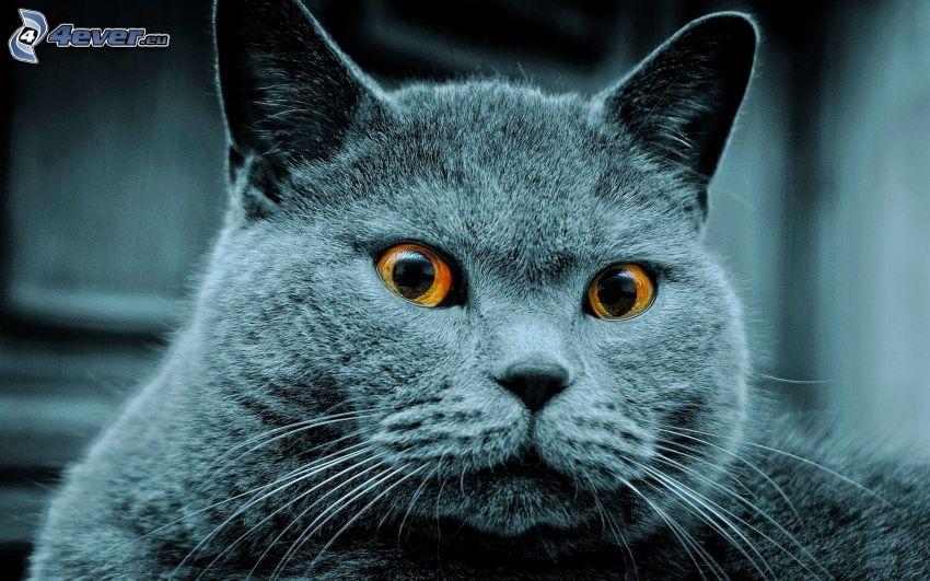 spojrzenie kota, kot brytyjski