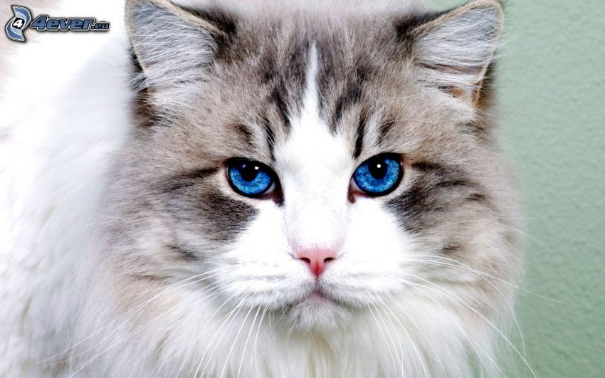 spojrzenie kota, niebieskie oczy