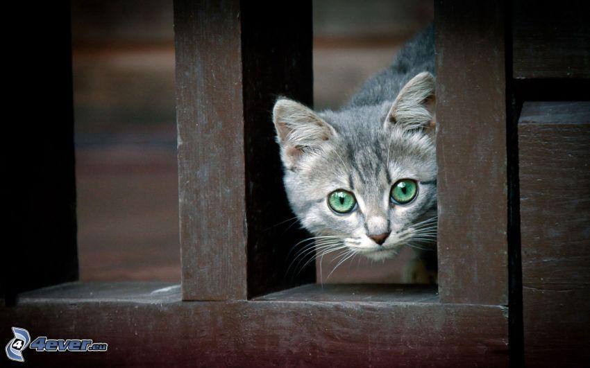 szary kot, drewniany płot