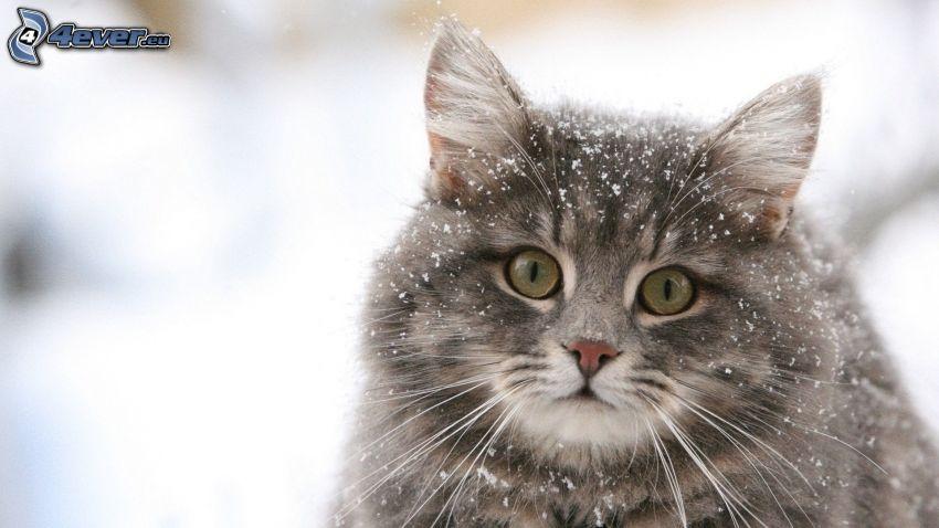 szary kot, śnieg
