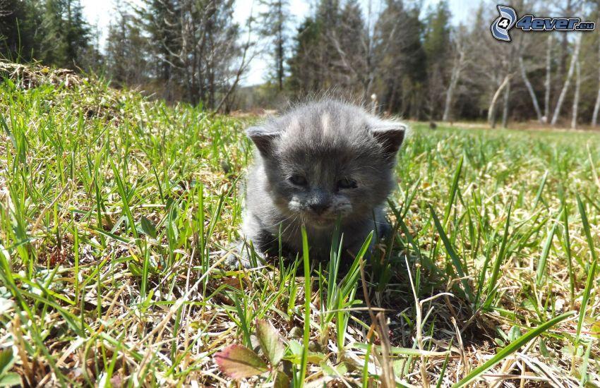 szary kotek, trawa