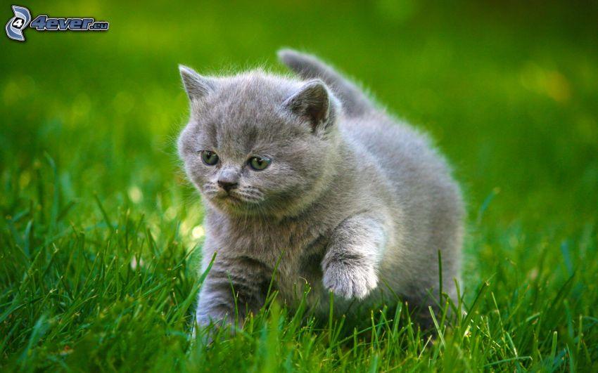 szary kotek, zielona trawa