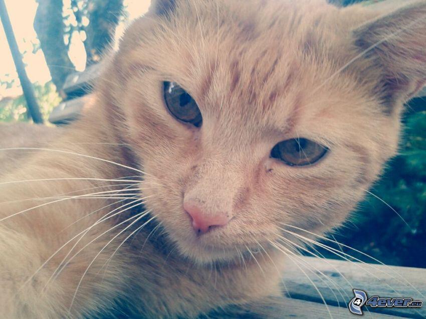 twarz kota, rudy kot