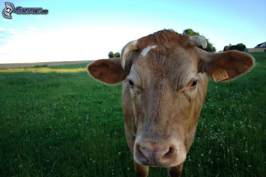 krowa, łąka
