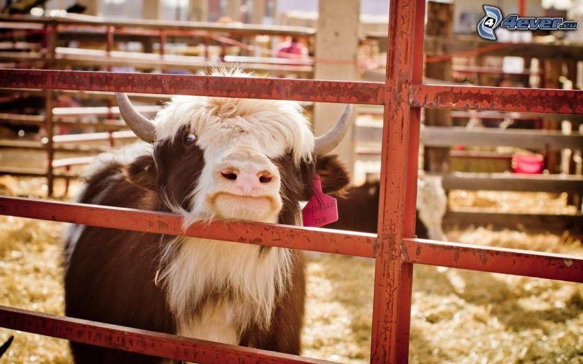 krowa, ogrodzenie