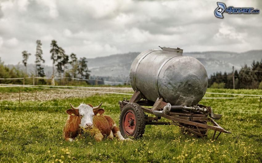 krowa, przyczepka