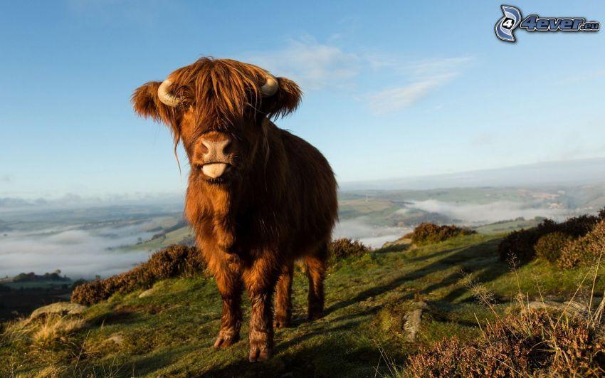 krowa, wystawiony język, widok na krajobraz