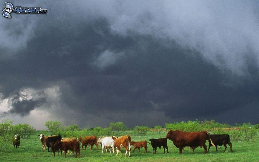 krowy, łąka, ciemne niebo