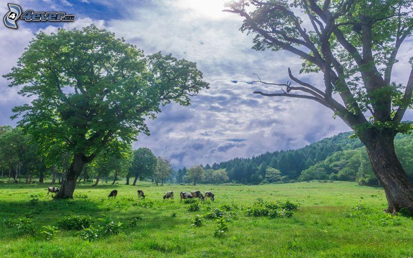 krowy, łąka, drzewa