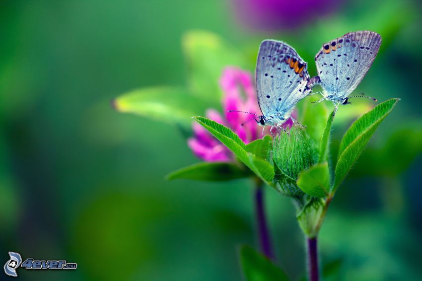 Motyle, zielone liście, różowy kwiat